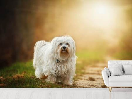 Photo Wallpaper The Havanese