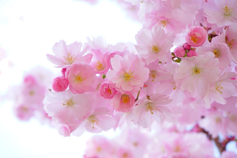 Hauteur Cerisier Du Japon papier peint photo fleur de cerisier japonais xl