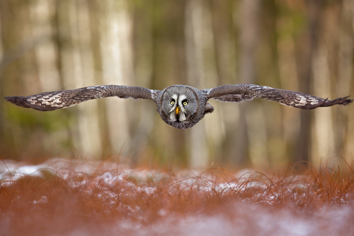 Photo Wallpaper Great Grey Owl Order Now