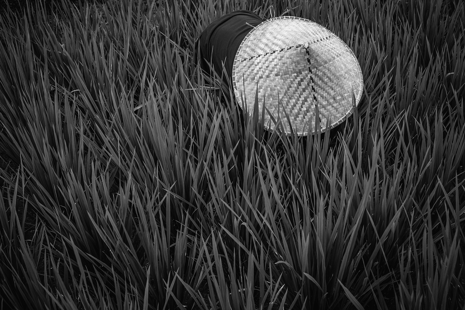 Fototapete Rice Fields In Bw