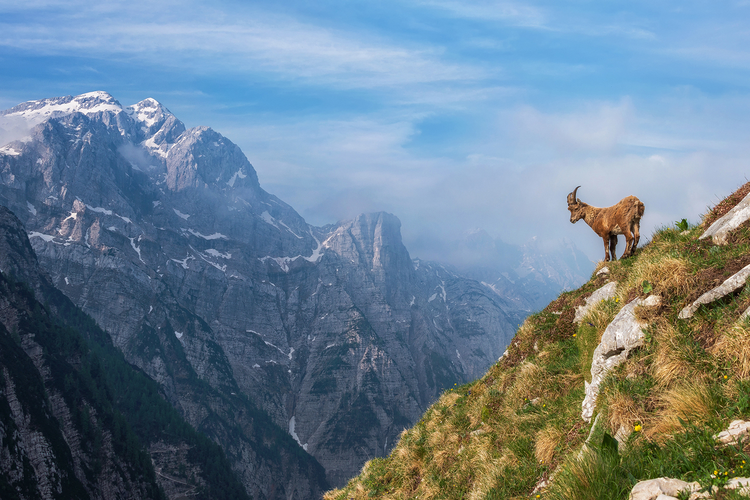 Photo Wallpaper Alpine Ibex In The Mountains