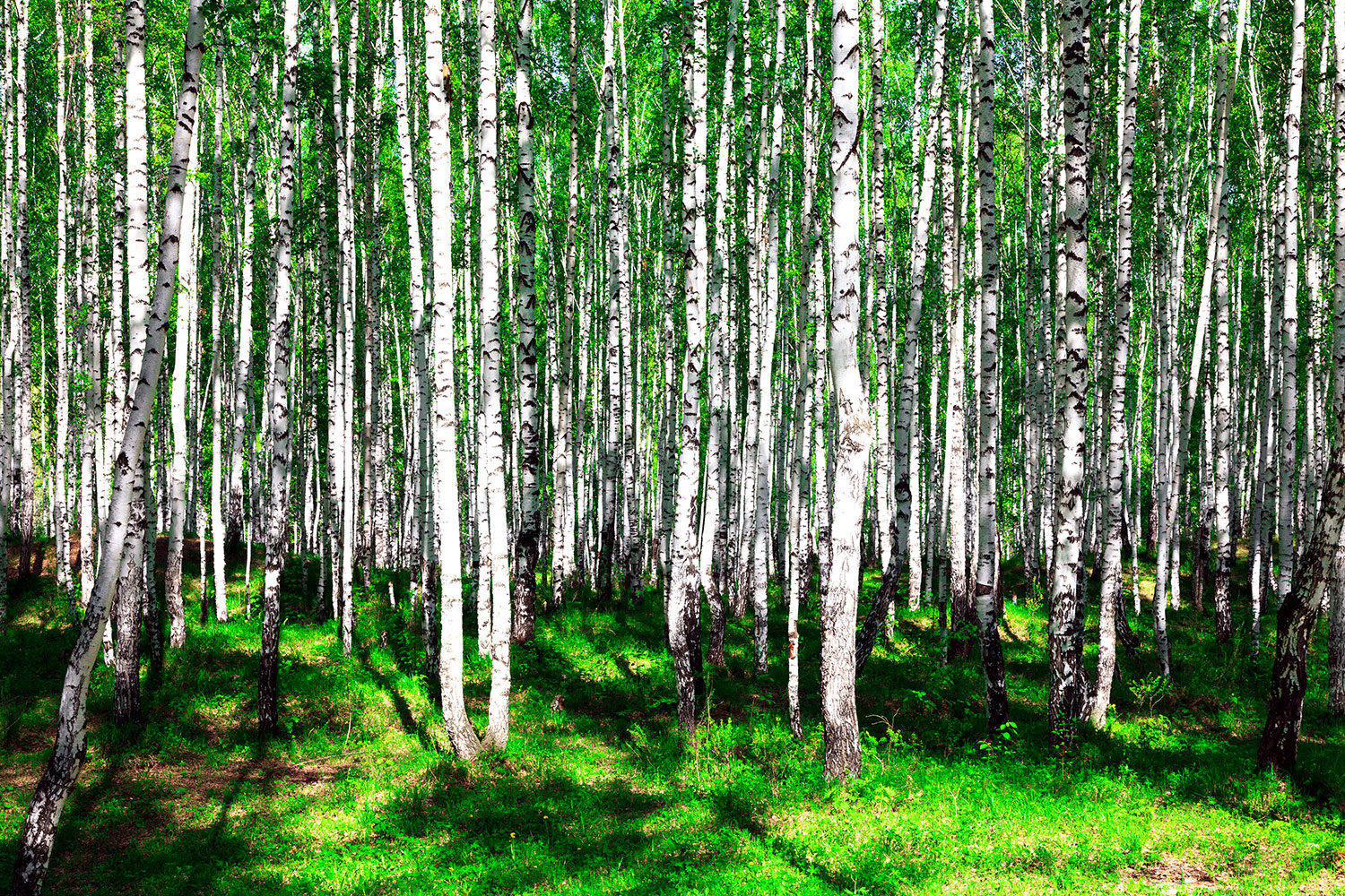 Photo Wallpaper Summerly Birch Forest